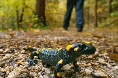 * (andreassimon) Tags: tisens italien feuersalamander südtirol firesalamander salamendrasalamandra