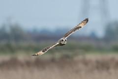 Short-Eared Owl-8124 (seandarcy2) Tags: birds wildlife owls shorteared owl raptor birdsofprey cambs uk handheld