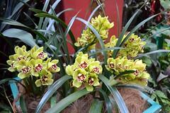 Cymbidium Orchids (Seventh Heaven Photography **) Tags: singapore national orchid garden nikon d3200 plants orchids cymbidium green