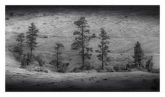 Ponderosa Pine - Utah (Vince O'Sullivan) Tags: 2018 utah northamerica usa zion zionnp pine ponderosapine petrifiedsanddune navajosandstone landscape blackandwhite bw
