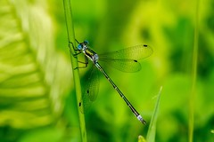 2017 Emerald Spreadwing Damselfly (Lestes dryas) 2 (DrLensCap) Tags: emerald spreadwing damselfly lestes dryas weber spur trail labagh woods chicago illinois abandoned union pacific railroad right way il bug insect damsel fly robert kramer rails to trails cook county forest preserve district preserves