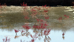 Dans les marais salants de Guérande (Yvan LEMEUR) Tags: marais maraissalants saliculture salines salicorne nature extérieur ecologie guérande loireatlantique bretagne