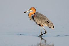 Goliath Heron, Luambe, Zambia (sharon.verkuilen) Tags: africa zambia luambe luangwariver safari goliathheron heron bird waterbird sonya7rii fe100400mm