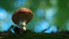 Amanita Muscaria - Vintage Lens (Visual Stripes) Tags: fungus fungi mushroom nature forest autumn paddenstoel amanitamuscaria composition bokehlicious bokeh meyeroptik meyer vintage lens panasoniclumixg2 microfourthirds mft m43 wideopen