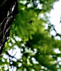 Spider web (jvstynakovalczyk) Tags: spider web net tree green sky makro macro poland polska nikon nikond3100 fauna nature