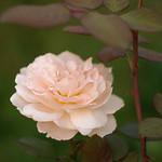 Bliss Floribunda Rose; Zeiss Biotar thumbnail
