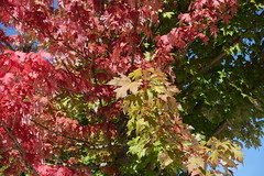 Leaves changing color @ Parc Vignières-Pommaries @ Annecy-le-Vieux (*_*) Tags: annecy hautesavoie france 74 europe savoie september 2018 summer été parcvignièrespommaries park red leaves color koyo autumn fall tree