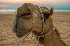 10003486.jpg (KevinAirs) Tags: camels camel kevinairs ocean sunset travel westernaustralia ©kevinairswwwkaozcomau sand sky landscape landscapes beach australia sea
