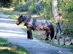 Débardage à l'ancienne 2 (Jean-Daniel David) Tags: nature forêt bois grume personne cheval chevaldetrait arbre chemin route animal herbe débardage tronc bille homme yvonand suisse suisseromande vaud