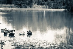 Ducks relaxing in a flooded parking lot (SweetCreek) Tags: ducks flooding river rain hurricane bw nifty50