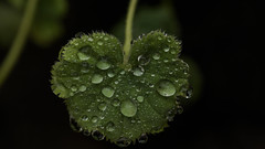 Droplet-beaded leaf (PChamaeleoMH) Tags: droplets garden leaves macro