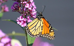 Monarch Butterfly (wvsawwhet) Tags: butterfly westvirginia wv fairmont marioncounty monarch