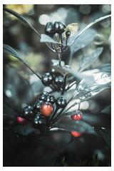 Black and Red Berries - Chanticleer - Wayne PA_Web 1-QX-Scaled (johann.kisaame) Tags: berry bokeh botanicalgardens chanticleergardens flora gardens leaves light luminance pennsylvania philadelphia philadelphiasuburbs shadows berries ethereal leaf