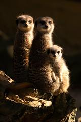 Meerkat Family (mattbeee) Tags: banham goldenhour lit meerkat zoo