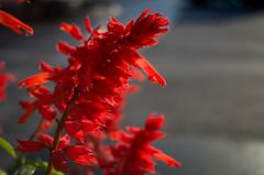 Kyiv. Flower (Dmytro Shishkin) Tags: ukraine kyiv flowers flower smcpentaxa28mmf28 pentax pentaxk5 pentaxukraine 28mm macro manualfocuslens smc pentaxsmc bokeh