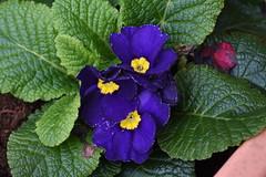 DSC_2152 Primrose (PeaTJay) Tags: nikond750 sigma reading lowerearley berkshire macro micro closeups gardens outdoors nature flora fauna plants flowers primrose primroses