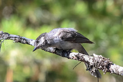 Canada Jay (maritimeorca) Tags: animal bird canadajay cougarrockcampground jay mountrainiernationalpark perisoreuscanadensis washington
