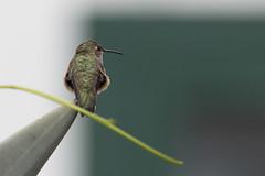 Allen's hummingbird (ramosblancor) Tags: naturaleza nature animales wildlife aves birds allenshummingbird colibrídeallen selasphorusallen selall juvenil juvenile posado perched color verano summer santacruz channelislands california usa