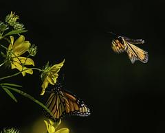 MonarchButterfly_SAF0101 (sara97) Tags: danaus plexippus butterfly copyright©2018saraannefinke insect missouri monarch monarchbutterfly nature photobysaraannefinke pollinator saintlouis towergrovepark urbanpark inflight danausplexippus