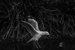 DSC00326 (Damir Govorcin Photography) Tags: blackwhite capture bird flight burwood park sydney monochrome sony a9 100mm stf lens water natural light