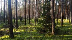 Forest Morning 25 (rimasjank) Tags: forest sunrise morning landscape moss serene