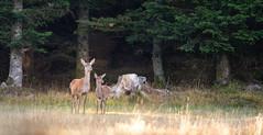_DSC3871 (Patrick d'Alsace) Tags: france forêt faune cerfs alsace animaux