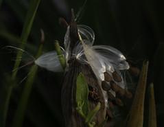Milkweed and Milkweed Beatle (vern Ri) Tags: insect seed milkweed pod flora fauna lowkey