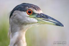 black crowned night heron nikon 500mm pf d850 hawaii _85C7115 (The Smoking Camera) Tags: nikon d850 500mm pf heron kailua hawaii oahu bird photography marsh telephoto