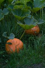 pumpkins (pqsyerg) Tags: kodakdcsproslrn elmaritr 135mm leitzwetzlarelmaritr beyondbokeh