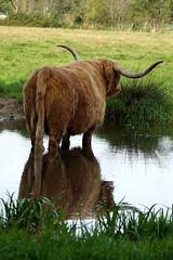 DSC04052 (imanh) Tags: stier zoogdier koe rund imanh iman heijboer bull cow cattle reflection spiegeling