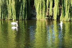 The River Severn in Shrewsbury (Eddie Crutchley) Tags: europe england shropshire shrewsbury outdoor nature beauty river reflections sunlight simplysuperb swans birds riversevern greatphotographers