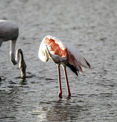 Flamenco rascandose (ibzsierra) Tags: rascar flamenco flamingo ave bird oiseau salinas parque natural ibiza eivissa baleares canon 7d tamron g2 150600
