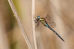 Aeshna mixta (Helena Medunová) Tags: nature vysočina vážka cz czechrepublic aeshna aeshnidae insecta insects insect odonata šídlo dragonflies dragonfly radešín