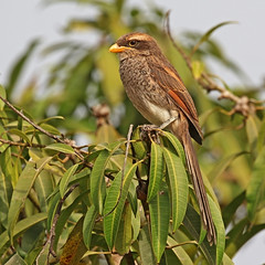 Picture of the day for October 15, 2018 (sivappa.technology) Tags: picture day for october 15 2018 httpcrazytrendzoneblogspotcom201810pictureofdayforoctober152018html a yellowbilled shrike corvinella corvina from the gambia shrikes catch insects impale their bodies thorns or other sharp points keeping them later learn more httpsuploadwikimediaorgwikipediacommonseeeyellowbilledshrike28corvinellacorvinacorvina29jpg httpscommonswikimediaorgwikifileyellowbilledshrikecorvinellacorvinacorvinajpg 0541am