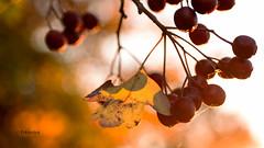 Herbstliches im Gegenlicht (petra.foto busy busy busy) Tags: herbst herbstlicht abendlicht blätter früchte bokeh herbstfarben natur fotopetra canon 5dmarkiii