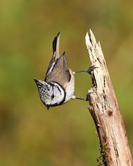 Crested tit (Lt_Dan) Tags: crestedtit bird birdphotogrphy wildlife wildlifephotography nature natureshot naturephotography cansiglio