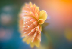 (KissThePixel) Tags: autumn autumncolours autumnlight colours colour flower flowers dahlia macro bokeh bokehlicious mygarden garden cottage cottagegarden creativephotography creativeart artistic art nikon nikond750 extensiontubes sigmaart sigma sigmaf14 f14 14 light closeup october