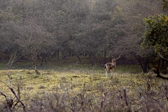 (Peertje.) Tags: animal animals stag buck roedeer deer nature naturephotography wildlife wildlifephotography nikon tamron forest forests wood woods fall autumn