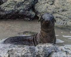 Wink wink (Fred Roe) Tags: nikond810 nikkorafs80400mmf4556ged nature wildlife mammal sealion galapagossealion zalophuswollebaeki galapagos
