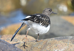 You put your left foot in, you put your left foot out.... (Snixy_85) Tags: turnstone blackturnstone qualicumbeach arenariamelanocephala