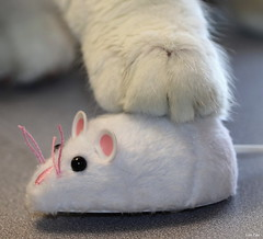 Cat and Mouse (Lisa Zins) Tags: macro tamronmacrolens 2018 cat cattoy paw mouse toy feline kitten catandmouse catch white petsandanimals electric battery remotecontrol
