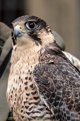 _D751991.jpg (DaveMac photography) Tags: boveycastle devon baldeagle fallowdear falcon dragonfly flying birds animals