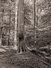 L'arbre peut-il cacher la forêt ? (Jean-Marie Lison) Tags: eos80d sigmaart bruxelles forêtdesoignes arbres hêtres noiretblanc monochrome