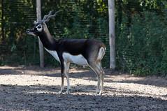 Indische antilope - Blackbuck (Den Batter) Tags: nikon d7200 zooparc overloon indischeantilope blackbuck antilopecervicapra