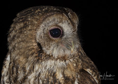 Tawny Owl (Ian howells wildlife photography) Tags: ianhowells ianhowellswildlifephotography nature naturephotography nationalgeographic night canon canonuk springwatch wildlife wildlifephotography wales wild wildbird wildbirds tawnyowl tawny owl