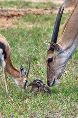 inspection (ucumari photography) Tags: ucumariphotography thomsonsgazelle animal mammal richmond virginia va zoo october 2018 eudorcasthomsonii newborn calf dsc0223 specanimal