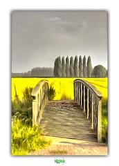 LA FLANDRE INTERIEURE / HAVERSKERQUE (régisa) Tags: flandre nord haverskerque bridge pont arbre tree champ field colza shade ombre
