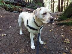 Gracie surveying the scene (walneylad) Tags: gracie dog canine pet puppy cute lab labrador labradorretriever october fall autumn afternoon capilanoriverregionalpark