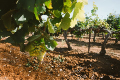 Grapes (mhoechsmann) Tags: 2018 europe france grape midday travel vine vineyard winery