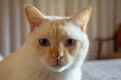 Dante white cat 2 (Figo Pilgrim) Tags: white cat kittie gatito gato blanco